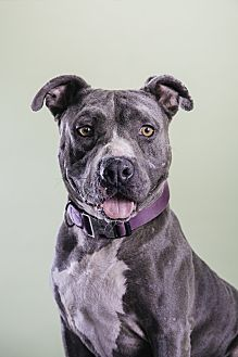 American Pit Bull Terrier Mix Dog for adoption in Los Angeles, California - Bobbi