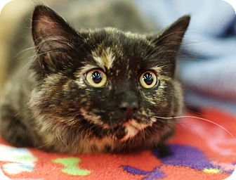 Domestic Mediumhair Kitten for adoption in Great Falls, Montana - Betty Bam-a-lam