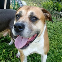 Adopt A Pet :: Brownie - Davie, FL