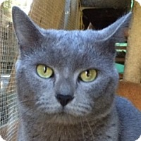 Russian Blue Cat for adoption in Mobile, Alabama - Buddy