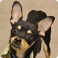 Miniature Pinscher Mix Dog for adoption in Las Vegas, Nevada - CHACHI