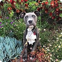 Adopt A Pet :: Mackaroni - santa monica, CA