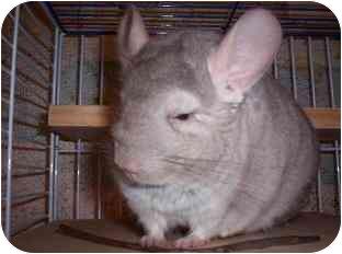 Chinchilla for adoption in Avondale, Louisiana - Chester
