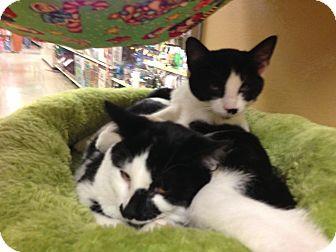 Domestic Shorthair Kitten for adoption in Monroe, Georgia - Houdini