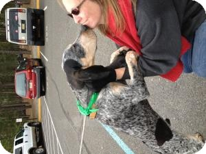 Bluetick Coonhound Puppy for adoption in Marlton, New Jersey - Jake 5 mos.