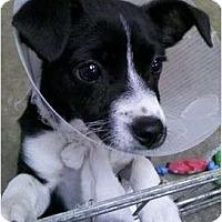 Adopt A Pet :: Cheese It - cutie! - Phoenix, AZ