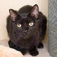 Bombay Cat for adoption in Santa Paula, California - Mason