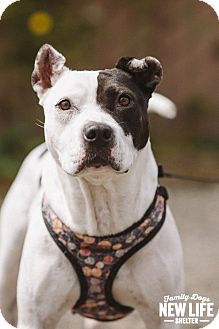 Australian Cattle Dog/Pit Bull Terrier Mix Dog for adoption in Portland, Oregon - Cheri (foster)