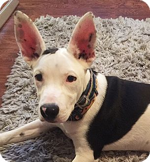 Bull Terrier Mix Dog for adoption in Memphis, Tennessee - Dax!