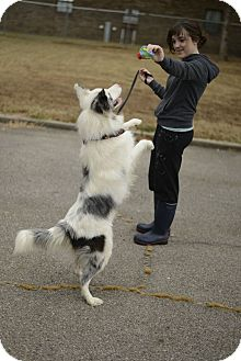 Australian Shepherd Dog for adoption in Muldrow, Oklahoma - Asher