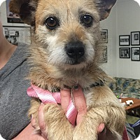 Norfolk Terrier Mix Dog for adoption in Ojai, California - BABY