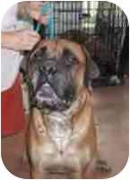 Bullmastiff Dog for adoption in North Port, Florida - Boomer