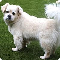 Tibetan Spaniel/Pekingese Mix Dog for adoption in Bedminster, New Jersey - Bucky MEET ME