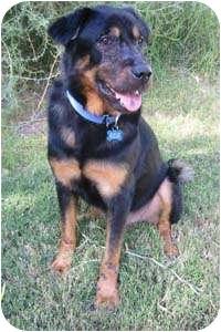 Rottweiler/German Shepherd Dog Mix Dog for adoption in Gilbert, Arizona - Buddah