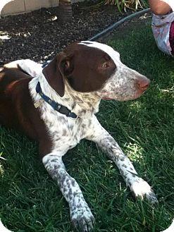 Pointer/Labrador Retriever Mix Puppy for adoption in Torrance, California - Freckles
