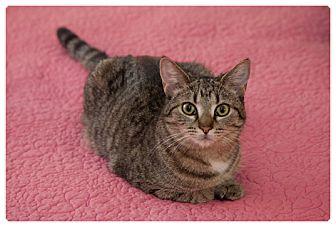 Domestic Mediumhair Cat for adoption in Alexandria, Virginia - Hopi