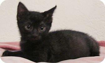 Domestic Shorthair Kitten for adoption in Seminole, Florida - Sinatra