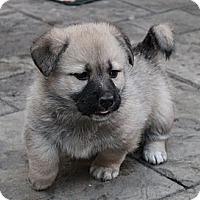 Adopt A Pet :: Puff - La Habra Heights, CA