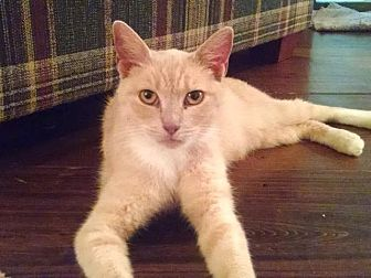 Domestic Shorthair Cat for adoption in Lambertville, New Jersey - Peaches