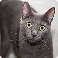 Adopt A Pet :: Binx - Lombard, IL