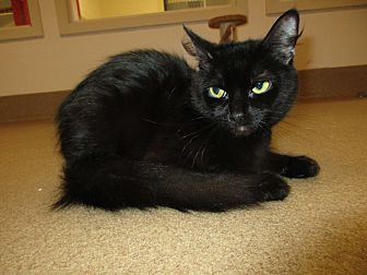 Domestic Shorthair Cat for adoption in Toms River, New Jersey - Destiny
