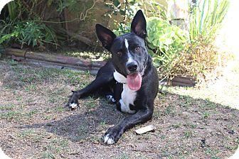 German Shepherd Dog Mix Dog for adoption in Los Angeles, California - Keaton