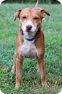 Beagle Mix Dog for adoption in Waldorf, Maryland - Shorty