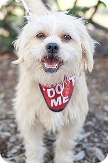 Shih Tzu Mix Dog for adoption in Van Nuys, California - Amber