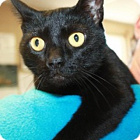 Domestic Shorthair Cat for adoption in Cottageville, West Virginia - Snickers