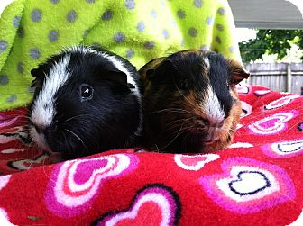 Guinea Pig for adoption in Coral Springs, Florida - Felix (Neutered)