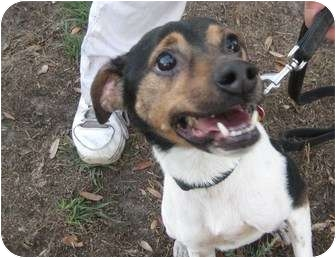 Fox Terrier (Smooth)/Jack Russell Terrier Mix Dog for adoption in Jacksonville, Florida - Logan