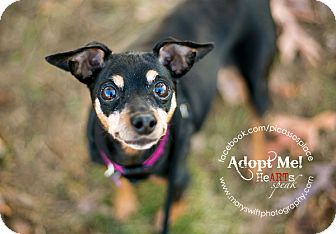 Miniature Pinscher/Miniature Pinscher Mix Dog for adoption in Myersville, Maryland - Katie