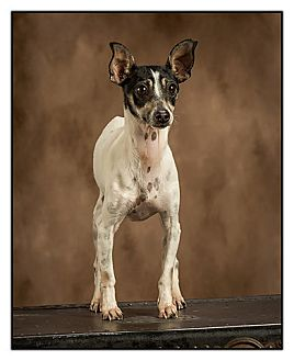 Rat Terrier Dog for adoption in Owensboro, Kentucky - Fiona