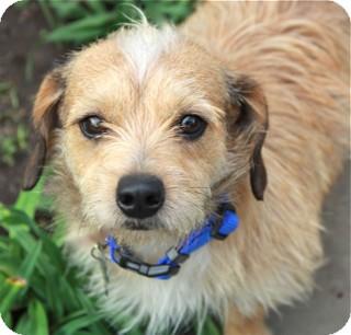 Cairn Terrier Mix Dog for adoption in Norwalk, Connecticut - Raffles - adoption pending