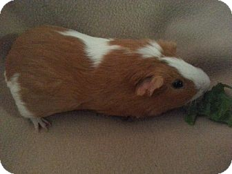 Guinea Pig for adoption in Pittsburgh, Pennsylvania - Erie & Davy