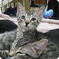 Adopt A Pet :: grey tiger kittens! - Vero Beach, FL