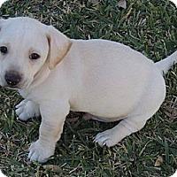 Adopt A Pet :: Barron - La Habra Heights, CA