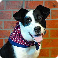 Adopt A Pet :: Scout - Weatherford, TX