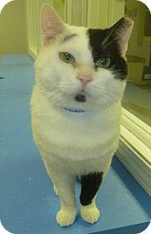 Domestic Shorthair Cat for adoption in Hamburg, New York - DC