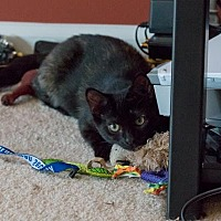 Domestic Shorthair Kitten for adoption in Herndon, Virginia - Tiger Lily