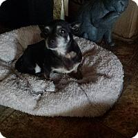 Adopt A Pet :: Tori - Former Breeder Chi! - Quentin, PA