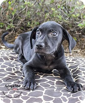 Pit Bull Terrier/Labrador Retriever Mix Puppy for adoption in Mooresville, North Carolina - Gozer (Ghosterbusters)