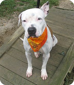 American Bulldog/Terrier (Unknown Type, Medium) Mix Dog for adoption in Voorhees, New Jersey - Kathrina