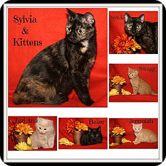 Domestic Shorthair Cat for adoption in Marietta, Ohio - Sylvia & Kitten Swagg