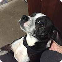 Adopt A Pet :: Sparky - Geneseo, IL