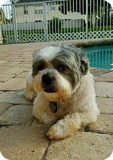 Shih Tzu Dog for adoption in Davie, Florida - Arthur