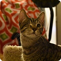 Adopt A Pet :: Ripley (polydactyl/loves dogs) - Rancho Cucamonga, CA