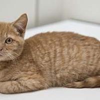 Adopt A Pet :: Tin Man - Merrifield, VA