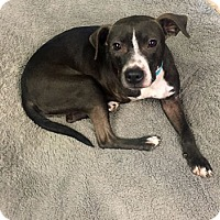 Adopt A Pet :: Ziggy-Pocket Pittie - Bedford Hills, NY