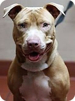 American Staffordshire Terrier Mix Dog for adoption in Daytona Beach, Florida - Buddy